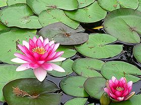 Personal calificado del Jardín Botánico, realizan estudios para determinar la colocación de estas plantas acuáticas